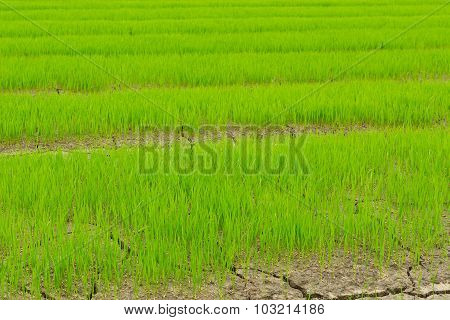 Green Of Rice Seedlings In The Rice Farm.