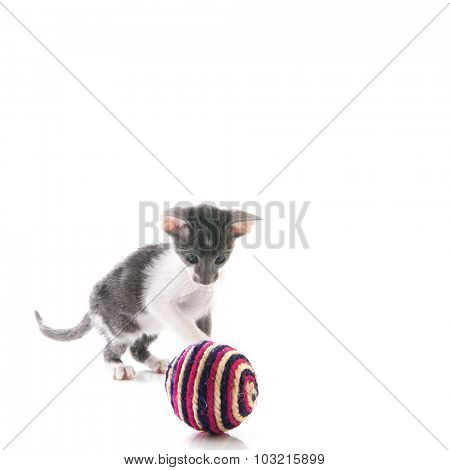 Little Siamese kitten playing with toy ball  isolated over white background