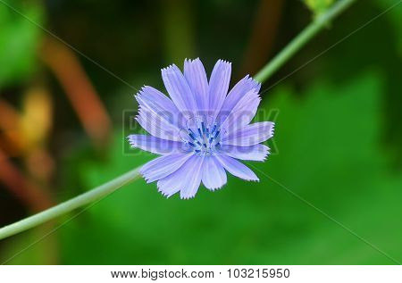 Chicory flower. Macro composition of nature.