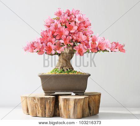 blooming bonsai azalea