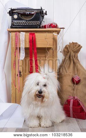 Funny dog at christmas. Purebred Coton de Tulear with wrapping paper for presents on xmas.