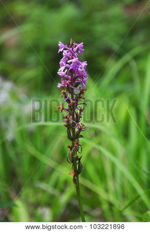 Fragrant Orchid (gymnadenia Conopsea)
