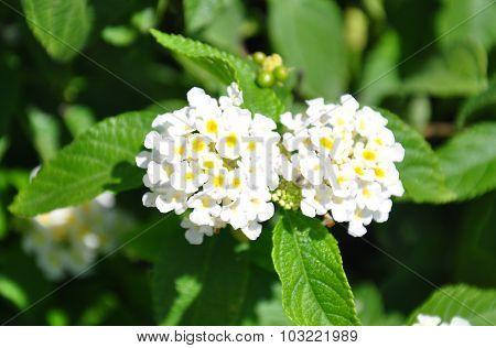White Sage (lantana Camara)