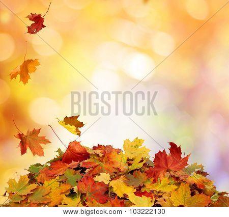 Autumn maple falling leaves i