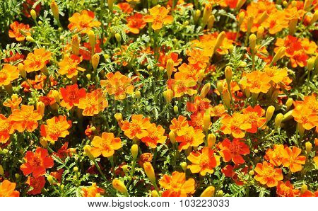 Marigold (tagetes Tenuifolia)