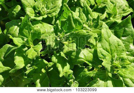 New Zealand Spinach (tetragonia Tetragonioides)