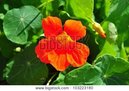 Garden Nasturtium (tropaeolum Majus)