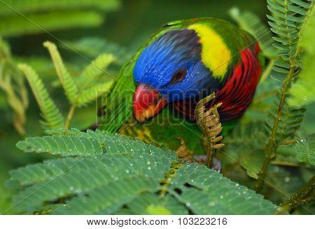 Rainbow Lorikeet (trichoglossus Moluccanus).horizontal.