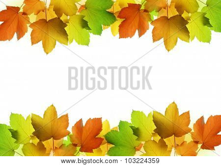 Frame from autumn leaves of maple tree on white background
