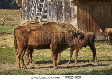 European Bison Female And Her Calf