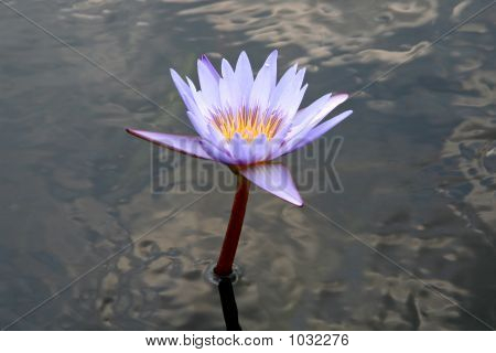 Blue Water Lilly In Pond