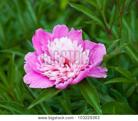 Georgeous Pink Peony In Bloom