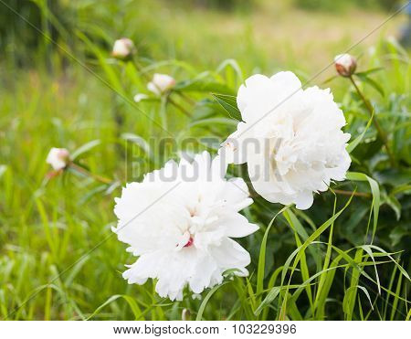 Georgeous White Peony In Bloom