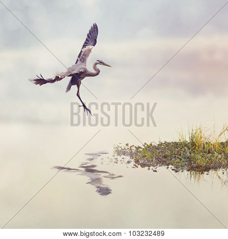 Great Blue Heron In Flight in Florida Wetlands