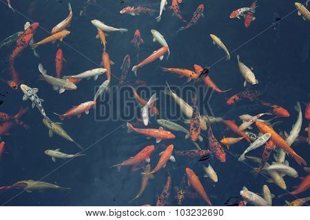 Group Of Beautiful Red Koi Carps (fishes) In Dark Background. Symbols Of Good Luck And Prosperity In