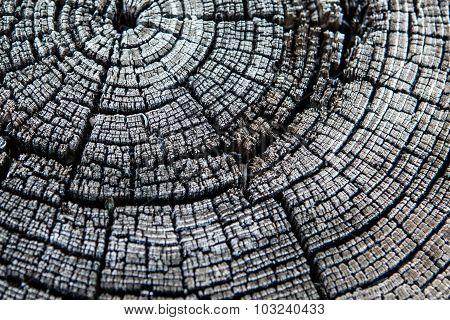 black and white tree stump rings