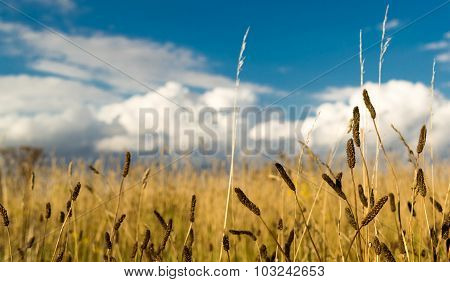 Field Of Weeds And Blue Cloudy Sky