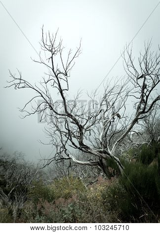 Old dry tree in fog toned