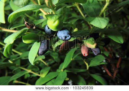 Honeysuckle Plant With Blue Fruits