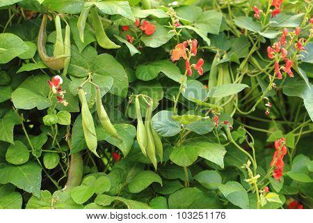 Beans Plants Flowers..