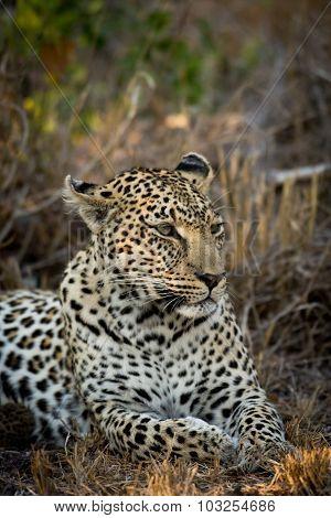Female Leopard Resting
