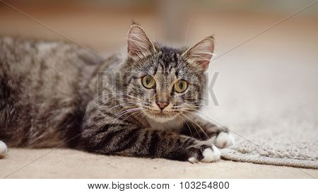 Portrait Of A Striped Cat With Yellow Eyes
