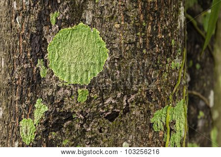A green lichen on tree after rain