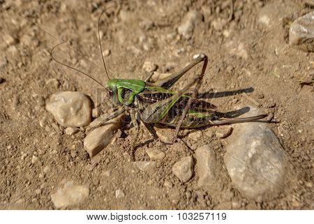 Grasshopper in a ground.