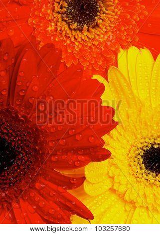 Gerbera Flowers Background
