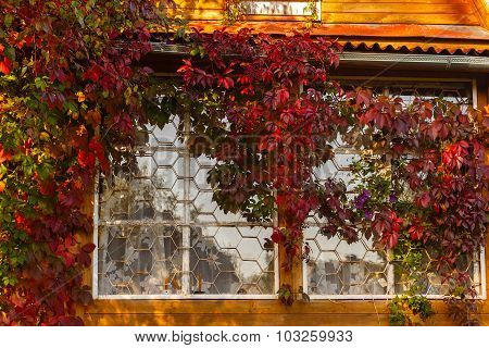 Rural House Twined By Grapes