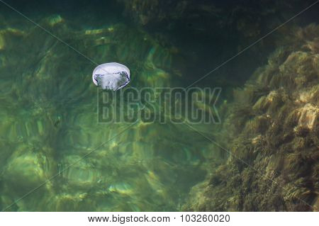 White Jellyfish In The Black Sea, Russia