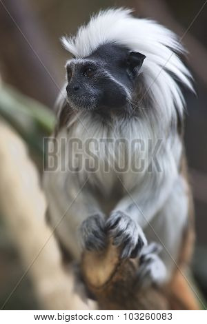 Portrait of cotton-top tamarin (Saguinus oedipus)