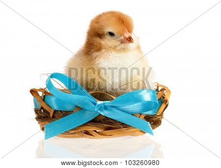Beautiful little chicken in nest, isolated on white background