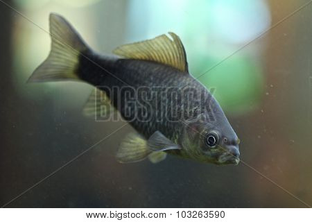 Prussian carp (Carassius gibelio), also known as the silver Prussian carp. Wild life animal.