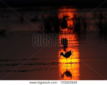Black-winged Stilt And Grey Heron Silhouettes At Sunset