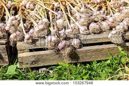 Freshly Dug Organic Garlic Drying On The Sun
