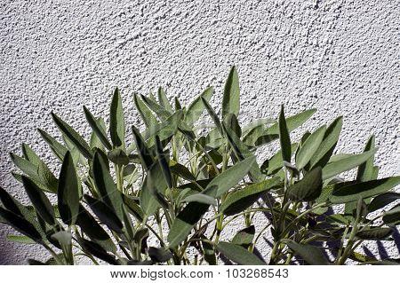 Garden Sage Against Wall In Sunshine