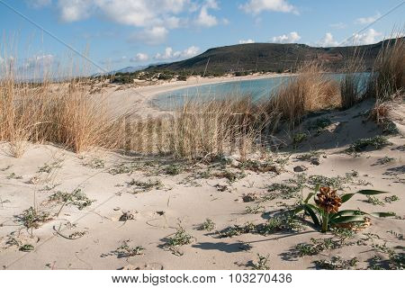 Seashore And Yellow Flower On The Sand, Simos Beach, Elafonisos, Greece