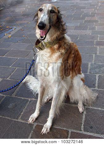 Female borzoi dog portrait