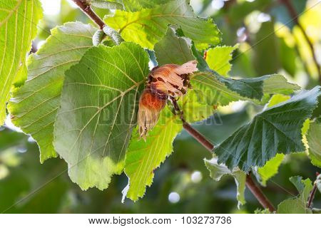 Hazelnuts On The Branch