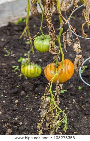 Green and orange tomatoes on a vine