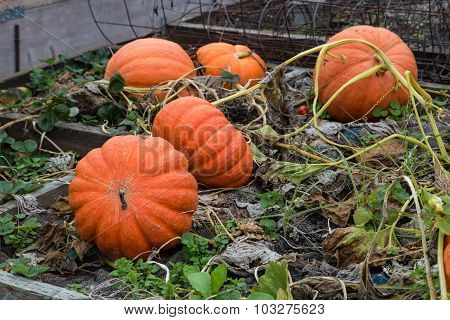Large Ripe Pumpkins