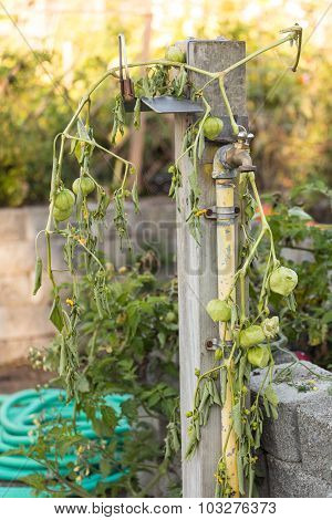 Green Tomatoes hanging on a vine