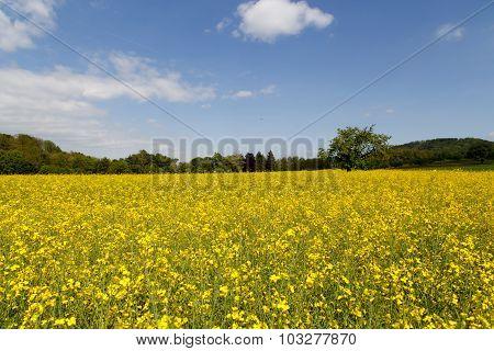 Rape Seeds Field