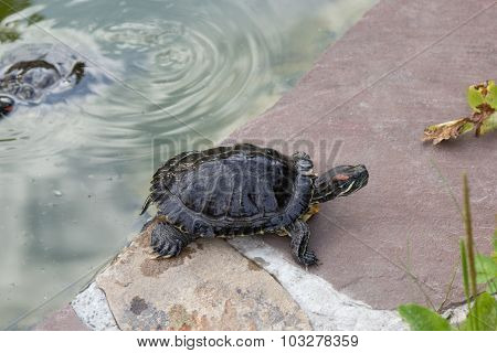 Wet Freshwater Turtle Crawled Out Of The Pond On Rock