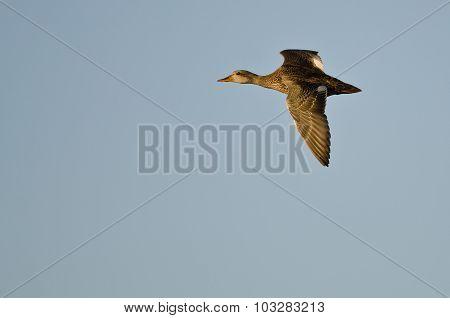 Gadwall Duck Flying In A Blue Sky