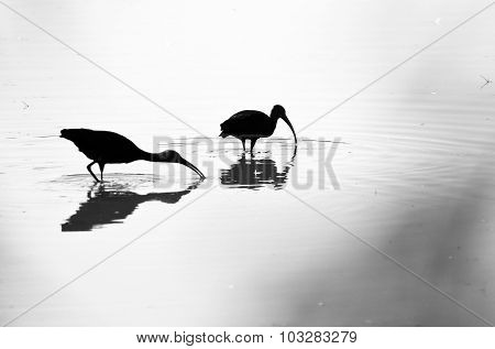 Two Silhouetted White-faced Ibis Standing In The Shallow Pond