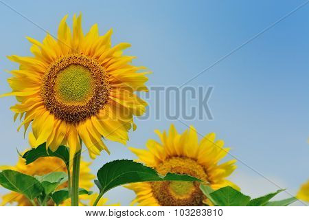 Warm With Sunflower Morning.