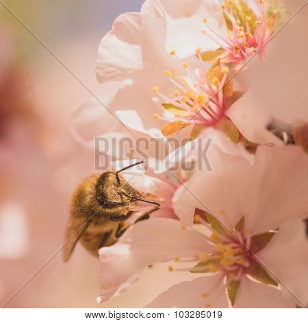 Worker Bee On Cherry Blossoms