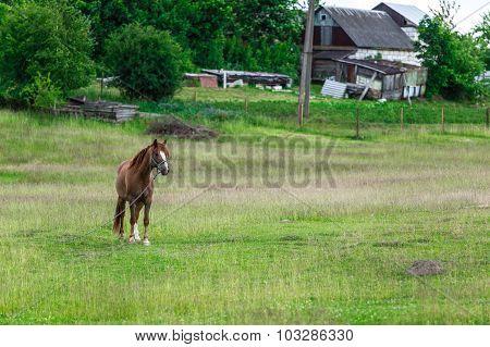 Horse with the chain near hte farm